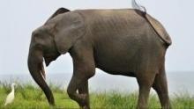 Wild Gabon show