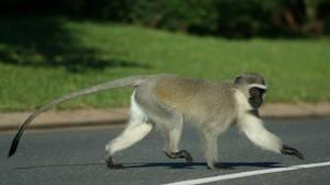 街頭頑猴 Street Monkeys