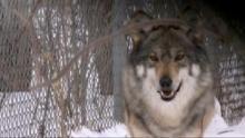 Animal Fugitives show