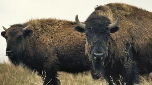 美洲野牛復育記 American Buffalo: Battling Back