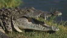 鱷魚末日 節目