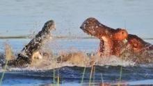 Il più forte: ippopotamo o coccodrillo? programma