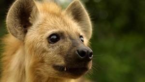 鬣狗女王 Hyena Queen