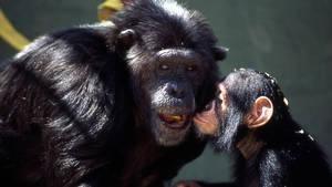 יומני השימפנזים