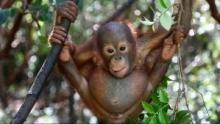 Orangutan Rescue show