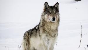 Farkaskirálynő