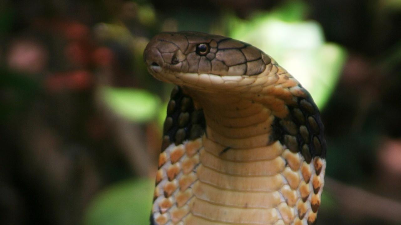 King Cobra Photos - Secrets of the King Cobra - National Geographic ...