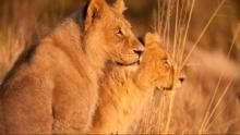 Wild Botswana: Lion Brotherhood show