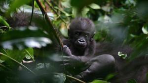 Gizemli Goril