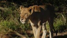 Caught On Safari show
