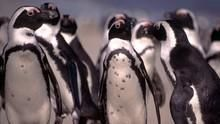 企鵝成長記 Penguin Death Zone 節目