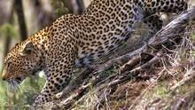 花豹殺手 Killer Leopards 節目