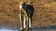 狒狒看世界 Golden Baboons 節目