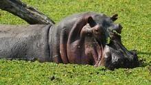 河馬生與死 Hippo Hell 節目