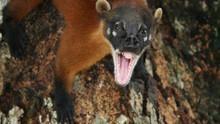 Amazonia's Giant Jaws show