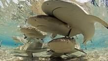 PANASONIC呈獻:世界文化遺產大賞 Shark Island 與鯊魚同游:鯊之島 節目