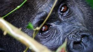 Kongó elfeledett gorillái