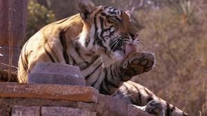 老虎女王 Tiger Queen