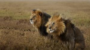Leoni: nel branco del Serengeti programma