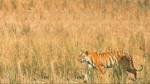 L'ultima tigre programma