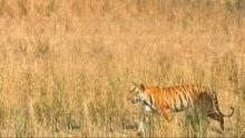 Tiger Wars show