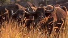 Leoni contro bufali programma