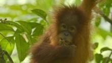 The Last Orangutan Eden show