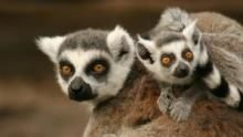 Madagascar's Legendary Lemurs show