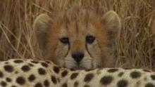 Surviving the Serengeti show