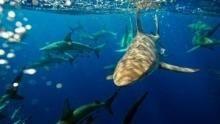Shark Alley show