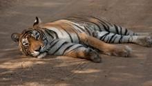Tiger Queen show