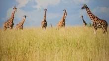 Giraffe: African Giant show