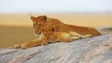 Cheetah : Fatal Instinct show