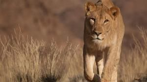 Vanishing Kings: Desert Lions of the Namib