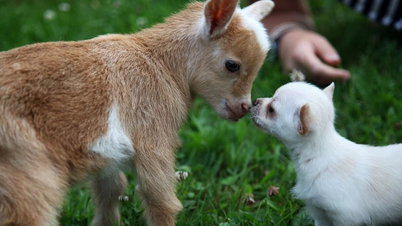 Image of: Fox Animal Love Photos Unlikely Animal Friends National Geographic Channel International Yours Magazine Animal Love Photos Unlikely Animal Friends National Geographic