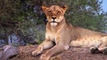Lion Queens show