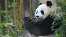 Making Pandas show