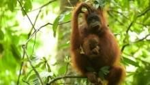 Mission Critical: Orangutan On The Edge show