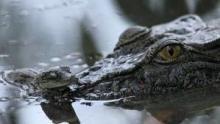 Boss Croc show