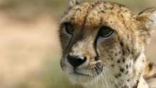 Sibella: The Miracle Cheetah show