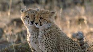 Man Among Cheetahs show
