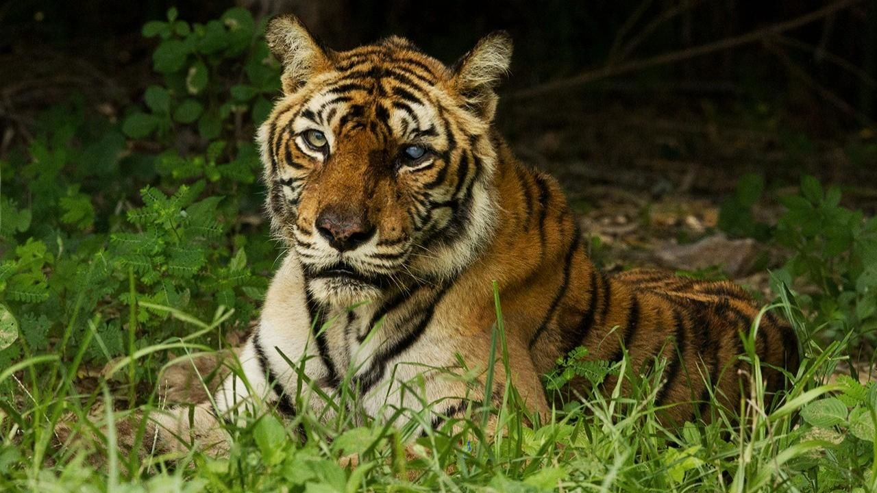 Watch The World S Most Famous Tiger Videos Online National