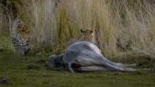 美洲豹與鱷魚 節目