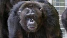 American Chimpanzee show