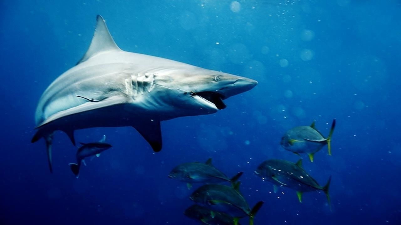 Big Sharks Rule - National Geographic Channel - Canada