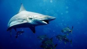 Big Sharks Rule show