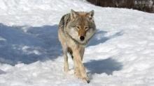 Wolf vs. Bear show