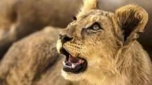 Lion Specials show