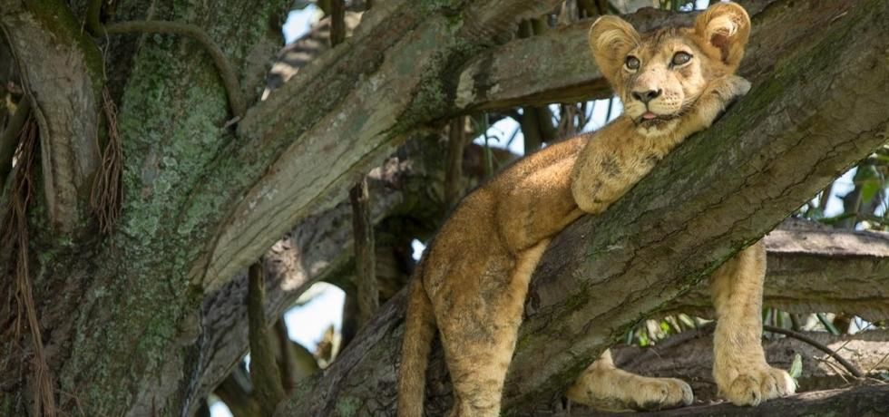 Mission Critical: Tree Climbing Lions