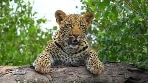 Leopard Kingdom